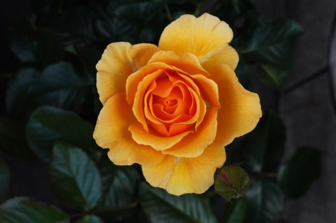 Sri_Chinmoy_rose